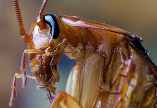 Perfil de la cucaracha