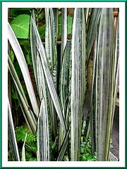 Jual pohon sansiviera | sansevieria trifasciata lorentii | sansiviera cylindrica | suplier tanaman | jasa desain taman