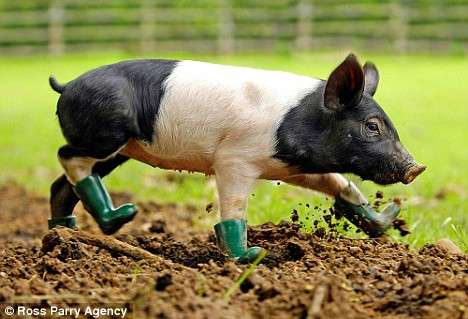[Image: boots-for-the-mud-fearing-pig-cinder-in-...ellies.jpg]