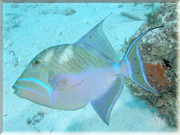 Queen Triggerfish Pictures