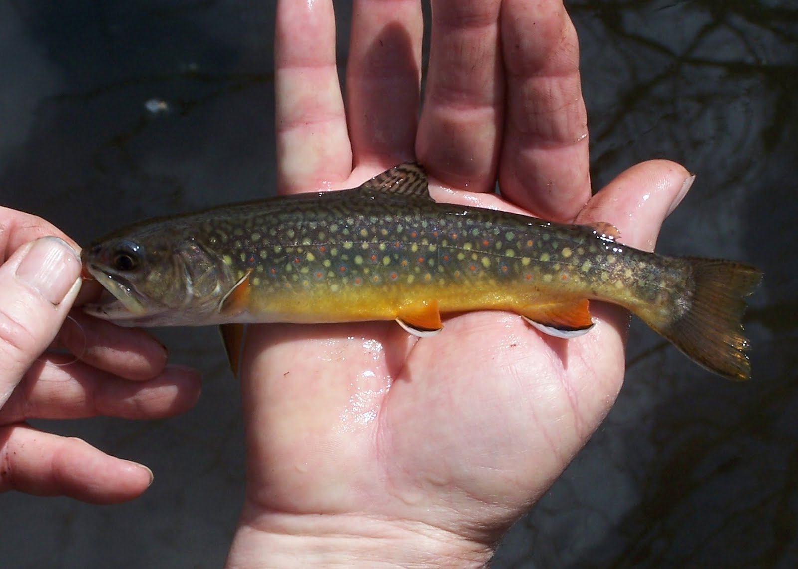 Vermont fly fishing vermont brook trout fishing for Vermont trout fishing