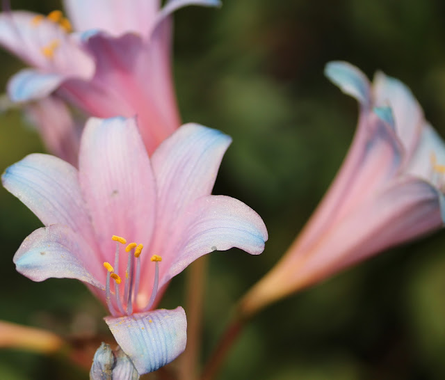 Cotton Candy Colored Lilies ~ Photo by ChatterBlossom #nature #flowers