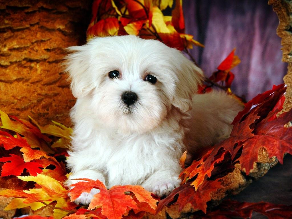 SUN SHINES: Lovely Little White Fluffy Puppy Cute White Dog Wallpaper