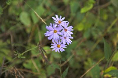 Sky-blue Aster (Symphyotrichum oolentangiense)