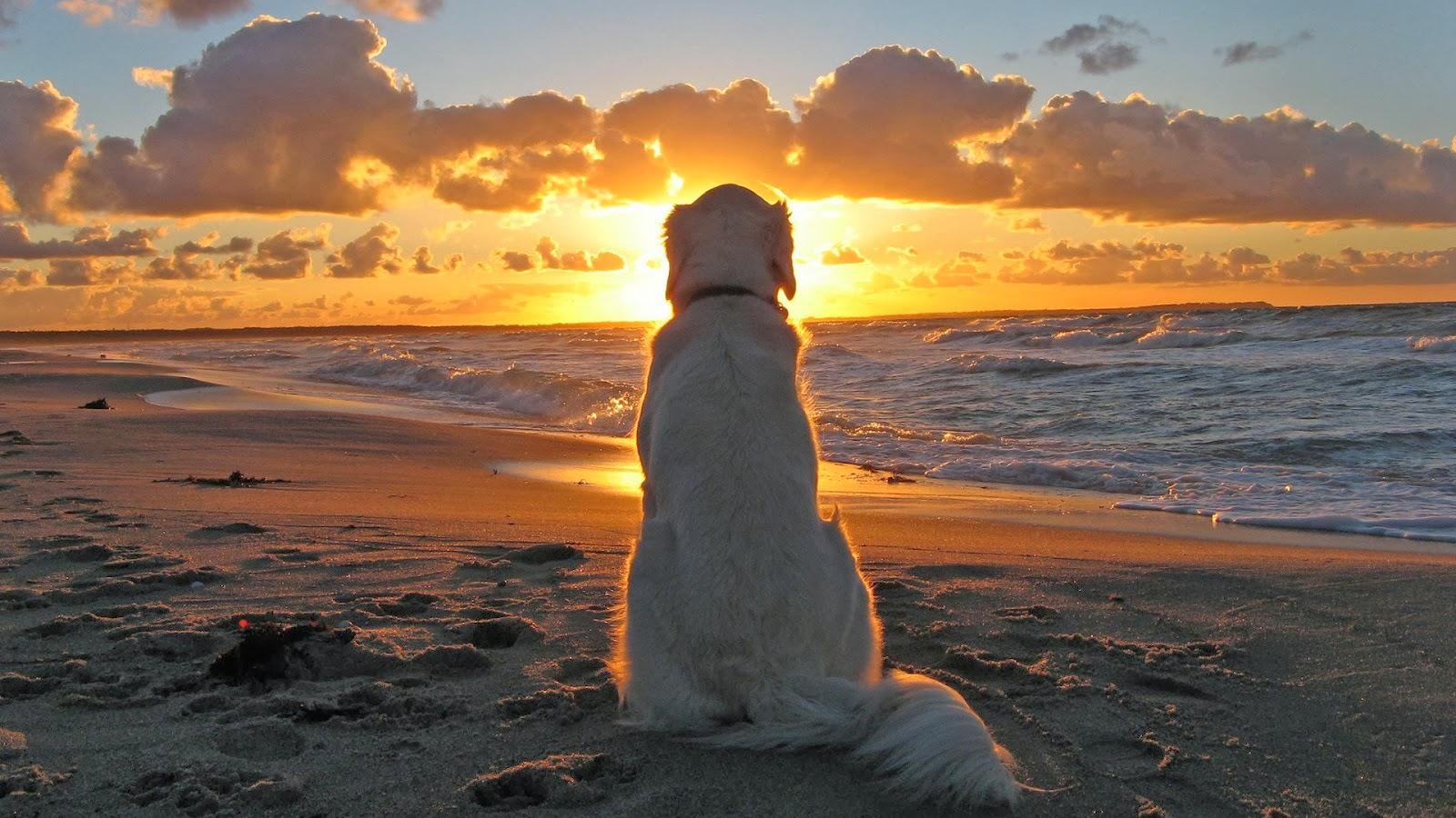 dysplasie chien symptôme