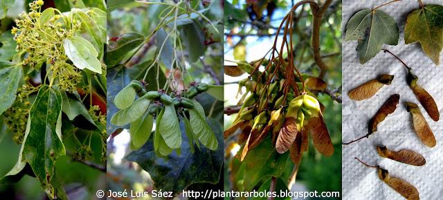 Plantar rboles y arbustos rboles no aut ctonos de - Arce arbol espana ...