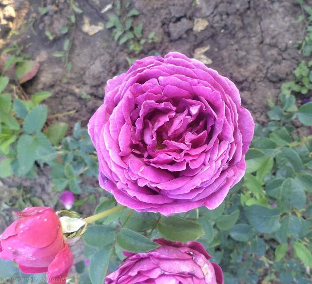 Gradina mea cu trandafiri ...