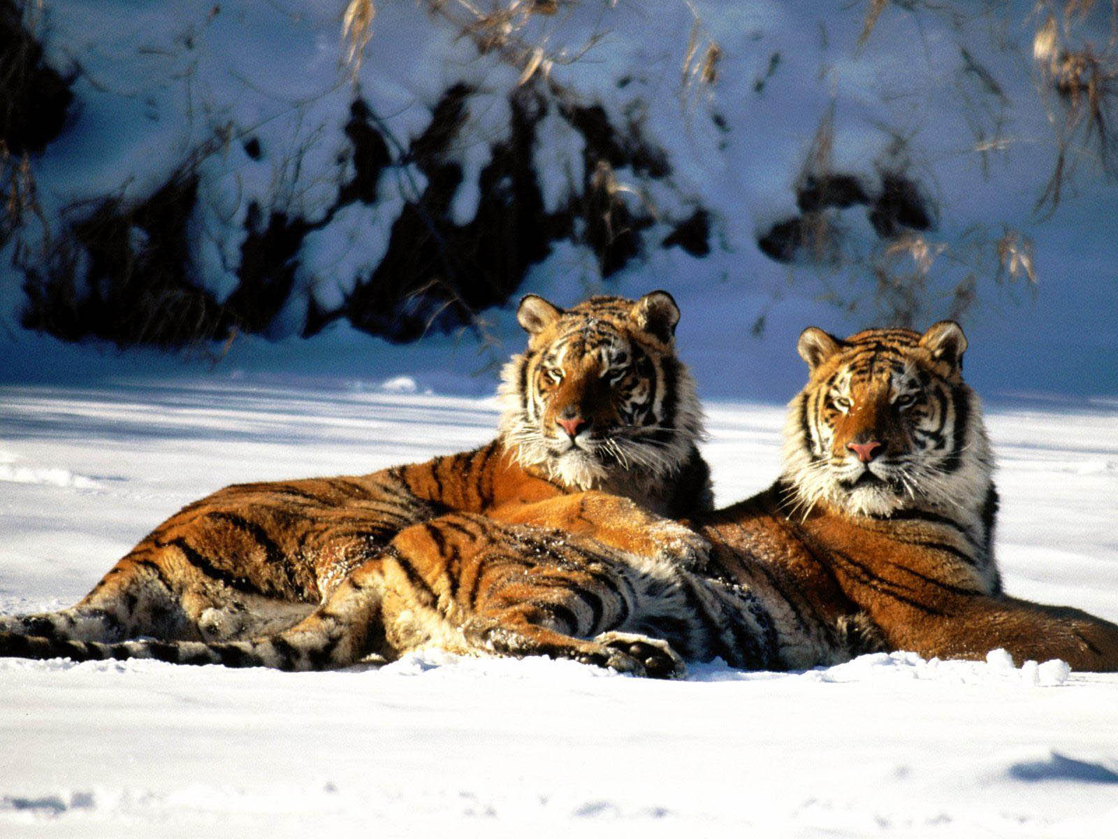 qq wallpapers tiger and - photo #29