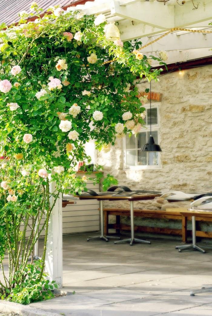 gotland, gotlanti, roses, rosor, rose tree