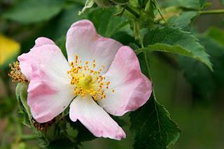 Bunga mawar,klasifikasi bunga mawar,jenis mawar