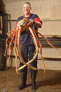 Giant Japanese Spider Crab