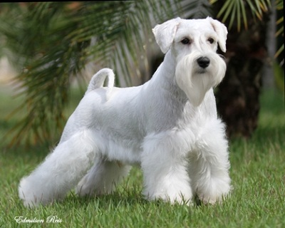 Cute&Cool Pets 4U: Miniature Schnauzer Information and Pictures
