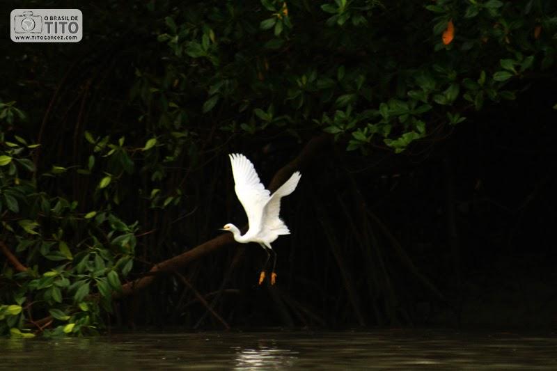 Garça-branca-pequena (Egretta thula), na ilha de Maiandeua (Algodoal), no Pará