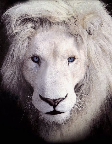 Blue Eyed Timbvati Type White Lion The Focus Of Conservation Efforts By Global Protection Trust Linda Tucker