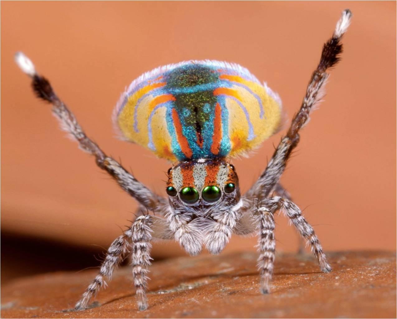 Peacock spider dance - photo#6