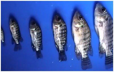 Benih Ikan Nila Harga Ukuran Merah