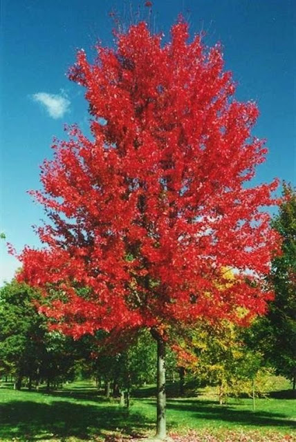 Autumn Blaze Maple For Sale2