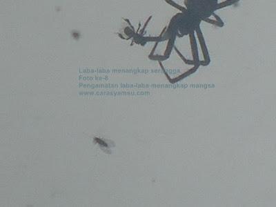 Gambar Laba-laba menangkap serangga semut