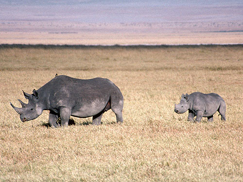 15 Animals That Are In Danger Of Extinction (Unless We Try To Protect Them) - Black Rhinoceros (Diceros bicornis)