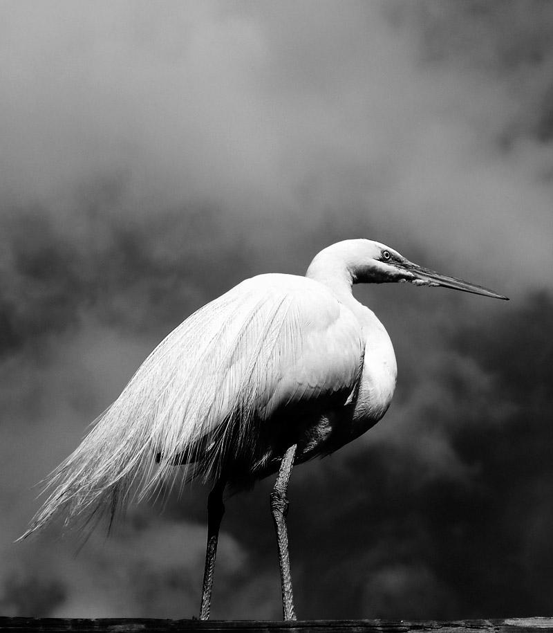 Egret; click for previous post
