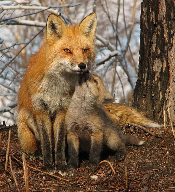funny animal pictures, mother fox and her baby