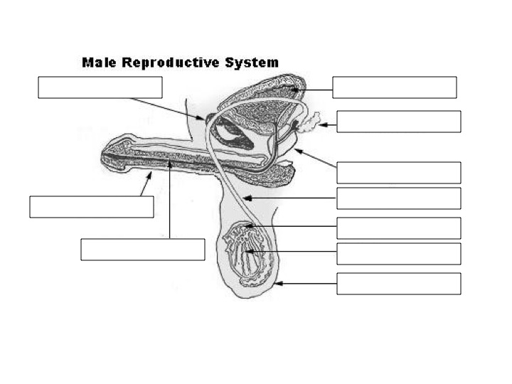 Male sexual organ anatomy