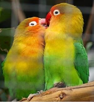 CARA TERNAK LOVEBIRD AGAR SUKSES