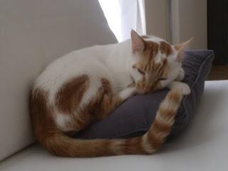 Χάθηκε ο Μιάο στο Καβούρι, κανελομελοάσπρος γατούλης με χαρακτηριστικό λευκό σημάδι στο κεφάλι.