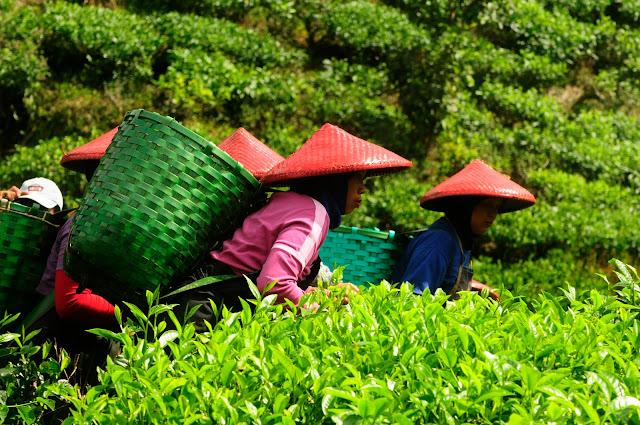 Sektor Perkebunan, Pertanian dan Peternakan Sebagai Solusi Tenaga Kerja