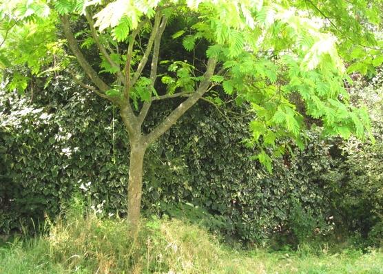 Plantes des jardins et des chemins albizia contre un mur for Taille d un albizia