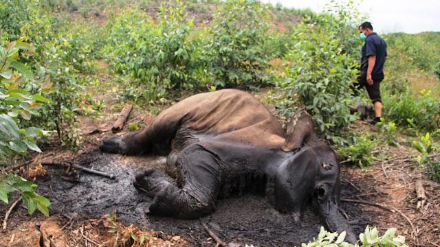 Menyedihkan, 12 Gajah Sumatera Ditemukan Mati
