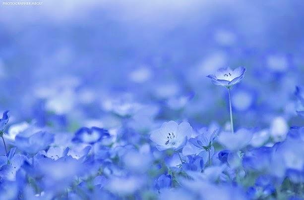 Fascinantes campos azules, no son de otro planeta son de aquí de la Tierra Azules3