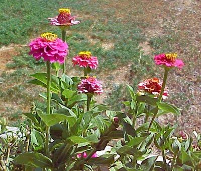 garden flower zinnea