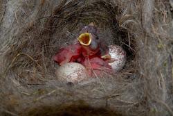 polls de mallerenga nascuts