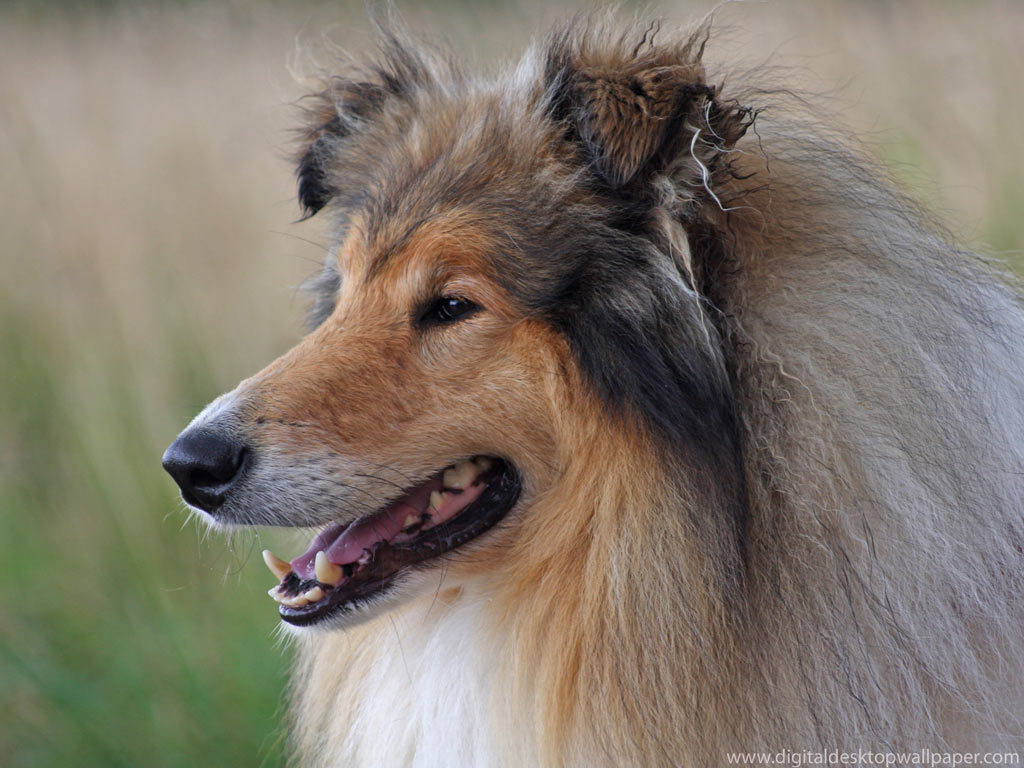 Are Collies Good Dogs