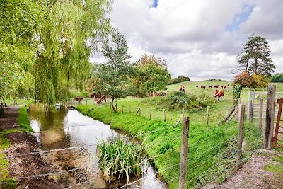 Vacas comiendo en los pastizales junto al arroyo de aguas cristalinas
