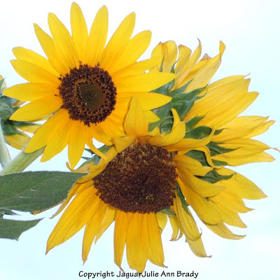 Multi Headed Yellow Sunflower Blossoms