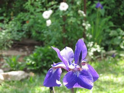 Annieinaustin,Siberian iris flower