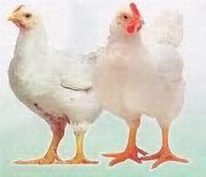 I.  Pendahuluan  Ayam Pedaging (Broiler) adalah ayam ras yang mampu tumbuh cepat sehingga dapat menghasilkan daging dalam waktu relatif singkat (5-7     minggu). Broiler mempunyai peranan yang penting sebagai sumber protein hewani asal ternak. PT. NATURAL NUSANTARA berupaya membantu peningkatan produktivitas, kuantitas, kualitas dan efisiensi usaha peternakan ayam broiler secara alami (non-Kimia).  II. Pemilihan Bibit  Bibit yang baik mempunyai ciri : sehat dan aktif bergerak, tubuh gemuk (bentuk tubuh bulat), bulu bersih dan kelihatan mengkilat, hidung bersih, mata tajam dan bersih serta lubang kotoran (anus) bersih  III. Kondisi Teknis yang Ideal  a. Lokasi kandang Kandang ideal terletak di daerah yang jauh dari pemukiman penduduk, mudah dicapai sarana transportasi, terdapat sumber air, arahnya membujur dari timur ke barat.  b.Pergantian udara dalam kandang. Ayam bernapas membutuhkan oksigen dan mengeluarkan karbondioksida. Supaya kebutuhan oksigen selalu terpenuhi, ventilasi kandang harus baik.  c.Suhu udara dalam kandang. Suhu ideal kandang sesuai umur adalah : Umur  (hari)    Suhu ( 0C ) 01 - 07    34 - 32 08 - 14    29 - 27 15 - 21    26 - 25 21 - 28    24 - 23 29 - 35    23 - 21  d.Kemudahan mendapatkan sarana produksi Lokasi kandang sebaiknya dekat dengan poultry shop atau toko sarana peternakan.  IV. Tata Laksana Pemeliharaan  4.1 Perkembangan Tipe kandang ayam Broiler ada dua, yaitu bentuk panggung dan tanpa panggung (litter). Tipe panggung lantai kandang lebih bersih karena kotoran langsung jatuh ke tanah, tidak memerlukan alas kandang sehingga pengelolaan lebih efisien, tetapi biaya pembuatan kandang lebih besar. Tipe litter lebih banyak dipakai peternak, karena lebih mudah dibuat dan lebih murah. Pada awal pemeliharaan, kandang ditutupi plastik untuk menjaga kehangatan, sehingga energi yang diperoleh dari pakan seluruhnya untuk pertumbuhan, bukan untuk produksi panas tubuh. Kepadatan kandang yang ideal untuk daerah tropis seperti Indonesia adalah 8-10 e