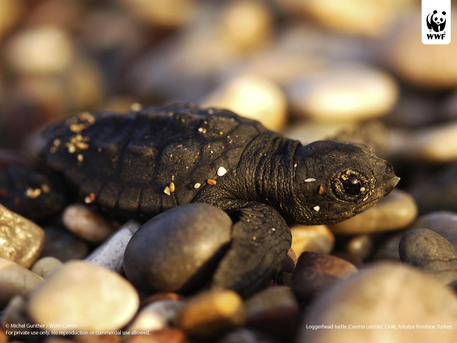 http://2.bp.blogspot.com/-vjAgXE4Cqvc/T88YhKNDFYI/AAAAAAAACCg/iHuB_9C82w0/s1600/loggerhead_turtle_wallpaper_pc110112.jpg