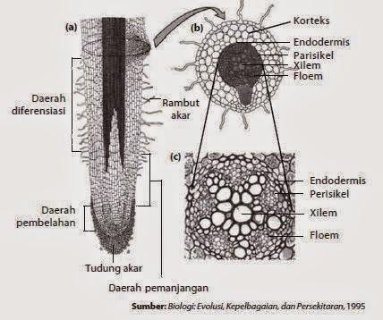 Bagian - bagian akar