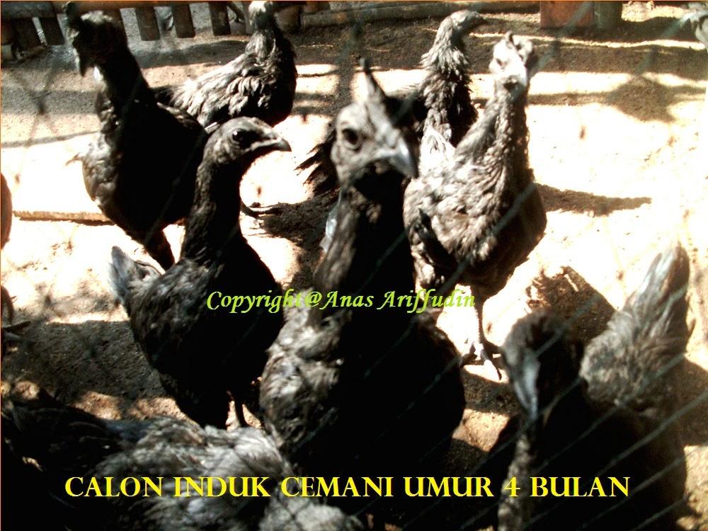 Ayam Cemani Lancur dan Dere (Remaja)