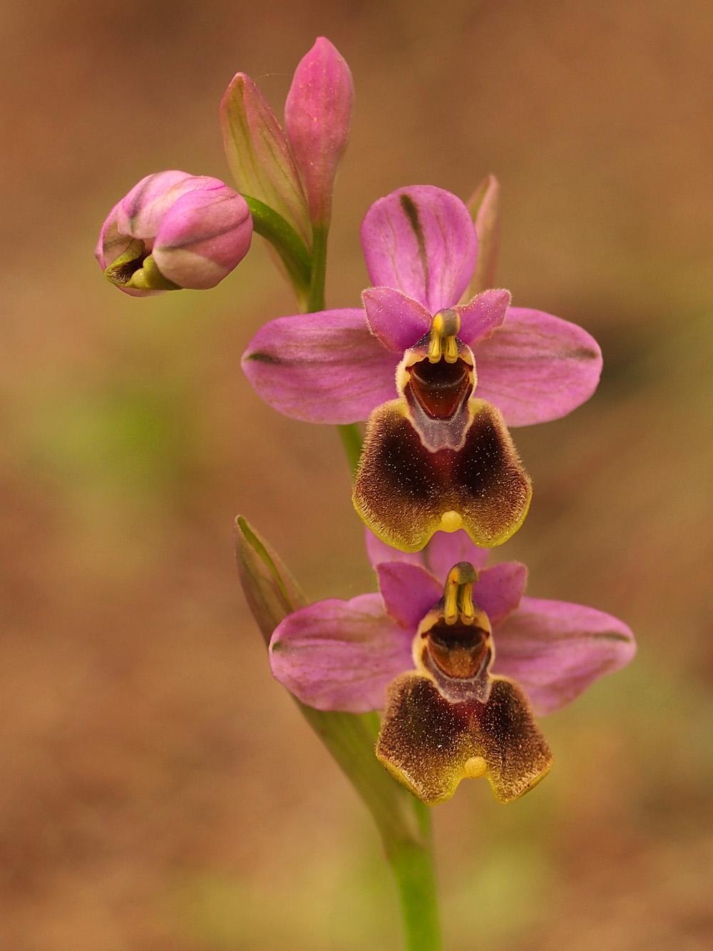 Ophrys tenthrendinifera