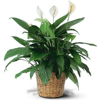 Buy a Spathiphyllum Plant -Peace Lily