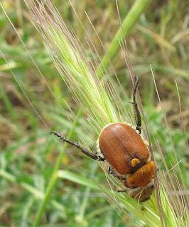 חיפושיות
