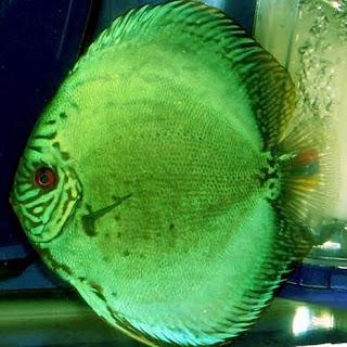 Green Discus Fish or the Symphysodon Aequifasciatus Aequifasciatus