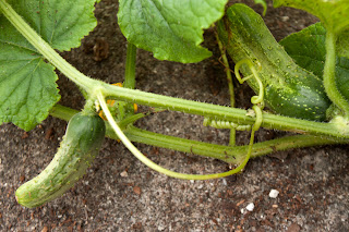 Salad-slicer cucumbers 55 days after sowing