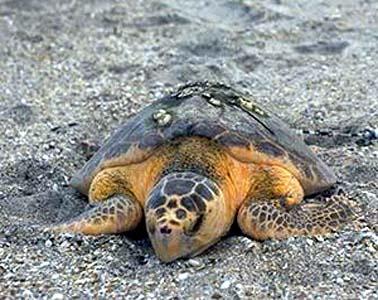 Escursioni le tartarughe che depongono le uova un for Deposizione uova tartarughe terrestri