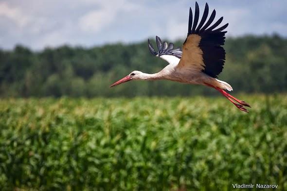 White Stork in Belarus