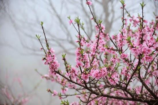 hình nền hoa đào nở đẹp nhất